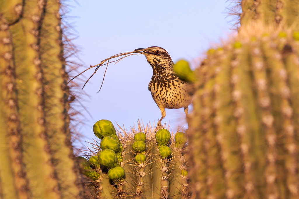 A cactus wren holds a twig in its mouth as it builds a nest in the arms of a saguaro at the Brown's Ranch Trailhead in McDowell Sonoran Preserve in Scottsdale, Arizona