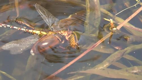 Water beetles drowing dragonfly