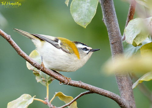 Firecrest in shade, early morning