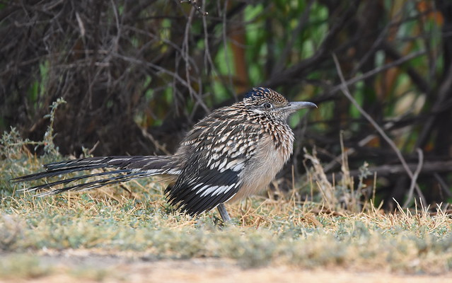 Greater Roadrunner, Nikon D7200, Sigma 150-600mm F5-6.3 DG OS HSM | C