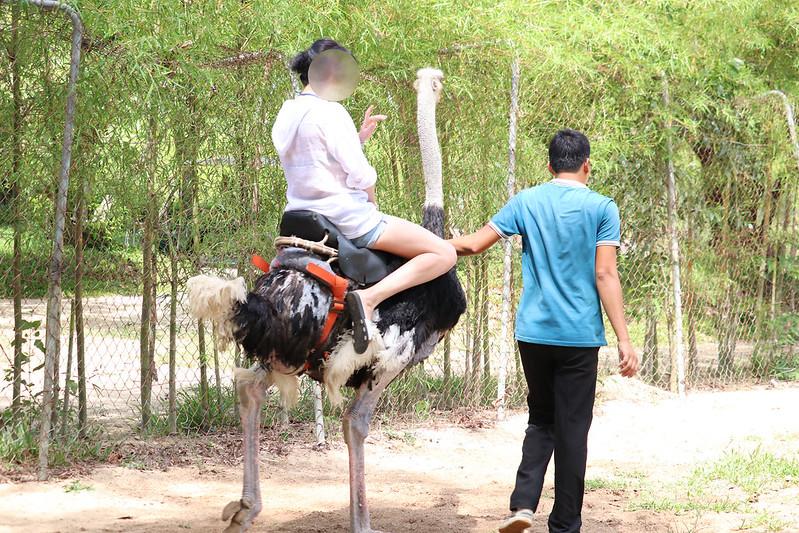 Foreign tourist rides an ostrich