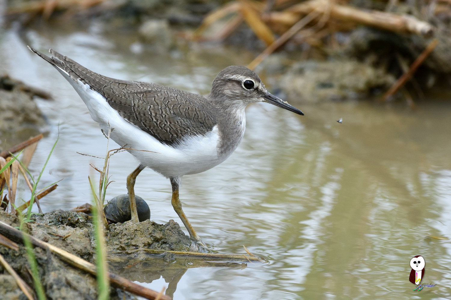 Common_Sandpiper_7621