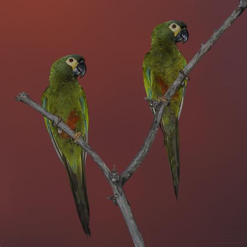 At dusk -Red-bellied Macaw (Orthopsittaca manilatus), Chapada dos Guimaraes, Mato Grosso, Brazil 2017