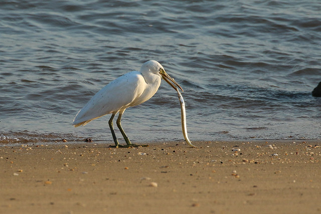 Egret with a Garfish