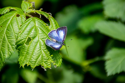 Dark Pencil Blue Butterfly