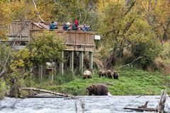 Bear 402 and cubs beneath the Falls platform