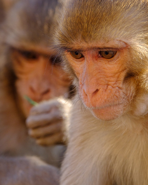 A Moment of Contemplation | Monkey Temple, Jaipur, India