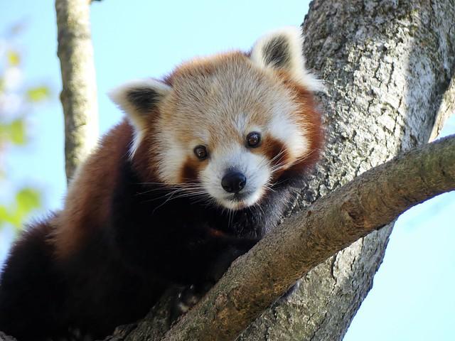 Roter Panda, Tierpark Hellabrunn