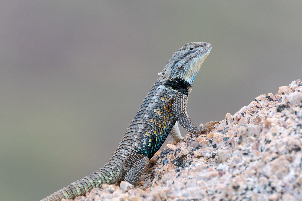 A closer view of the desert spiny lizard that shows the spines on its scales and the delightful splashes of color
