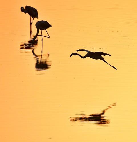 flamingo flying sunset sundown nikond750sigma150600 larnaca cyprus saltlake