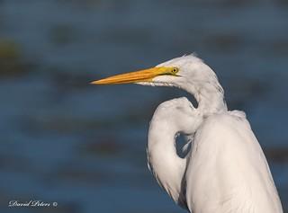 Great Egret - portrait