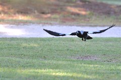 Australian Magpie ( feeding time )