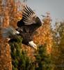 Diving Eagle on the Snake River