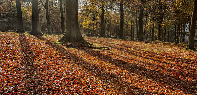 Long Shadows from Beech Trees