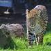 Northern Chinese leopard - Nordchinescher Leopard