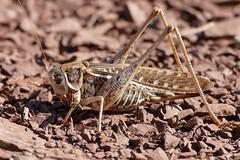 Mediterranean Wart-biter (Decticus albifrons) female ...