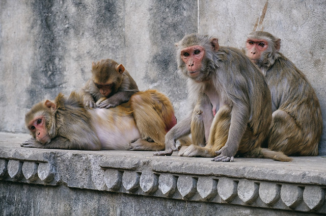 Pampered | Monkey Temple, Jaipur, India