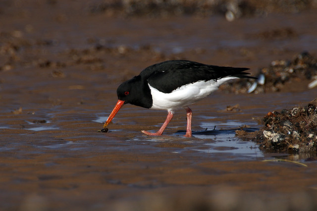 IMGP6425c Oystercatcher, Titchwell beach, March 2017