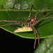 Nursery Web Spider - Pisaurina mira, Brentsville Park, Brentsville, Virginia by judygva