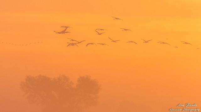 Kraniche im Nebel Arne, Nikon D7200, Sigma 150-600mm F5-6.3 DG OS HSM | S
