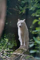 loup blanc - Photo of Le Breuil-en-Auge