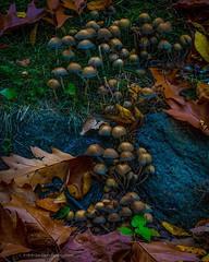 Happy Autumn . . . . . #autumncolors #autumn #fall #colorsoffall #fungi #autumnleaves #leaves #mushrooms #chrislord #chrislorddotnyc #pixielatedpixels #sonyalpha #naturephotographer #artphotos #toadstools #newyorkbotanicalgarden #nature_hippys #nature_bri