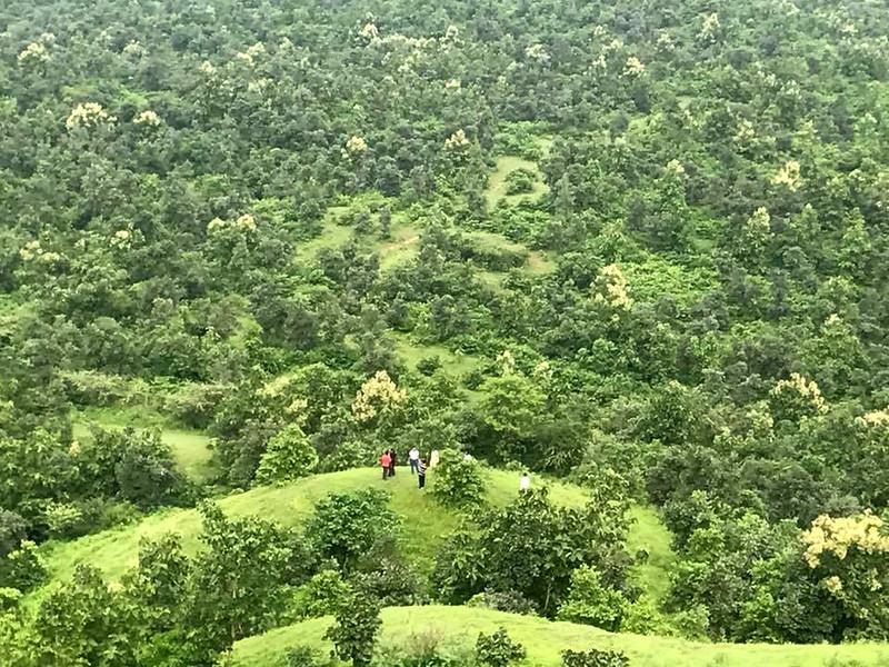 जंगल का रूप लेते हाथीपावा के पौधे