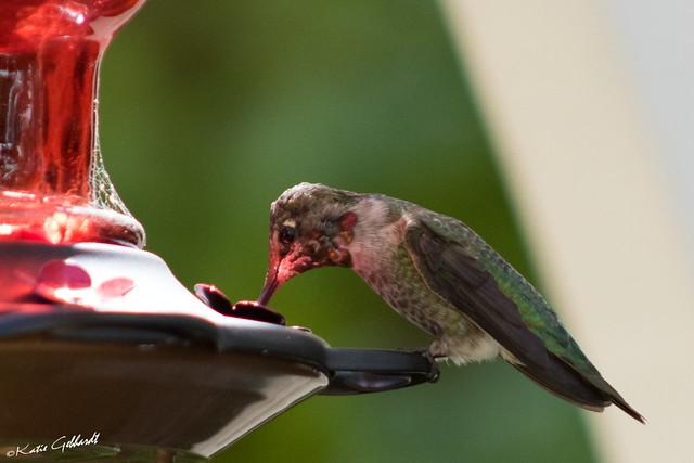 IMG_9861 Hummingbird, Canon EOS REBEL T6I, Canon EF 75-300mm f/4-5.6