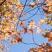 Sugar Maple Leaves, Ness Botanic Garden