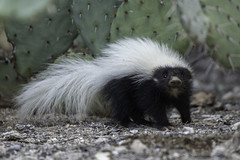 Baby Hog-nosed Skunk