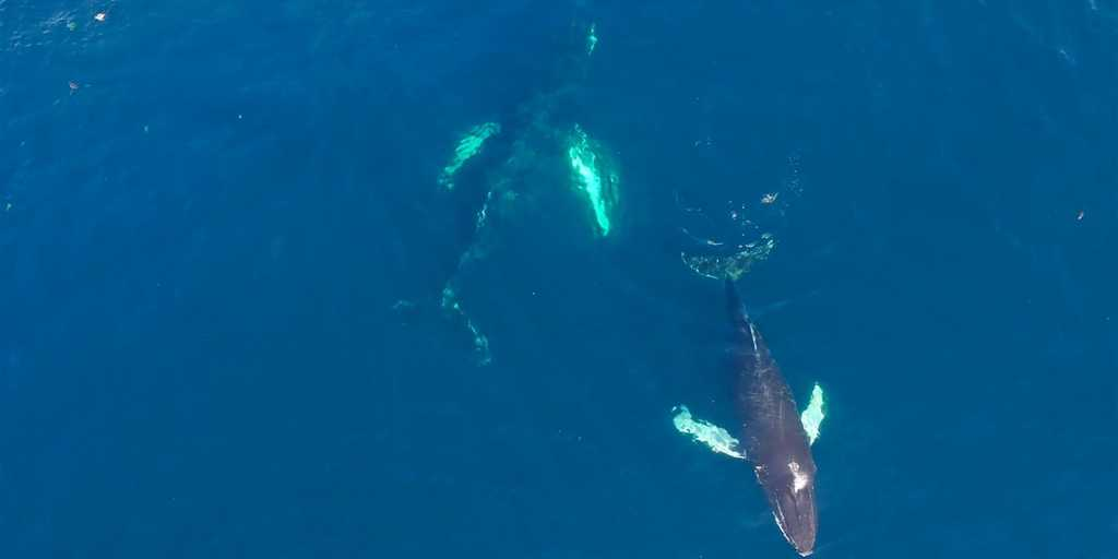 Des baleines repérées depuis l'espace