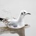 Bonaparte's Gull winter plumage by rdroniuk