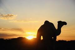 Much of Somalia is arid, near desert lands, reason why traditional Somali pastoral society revere the camel.  #Camel #SomaliCamel #livestock #Pastoralists #desertification #camel #desert #Somalia #Africa #everydayafrica #sunset