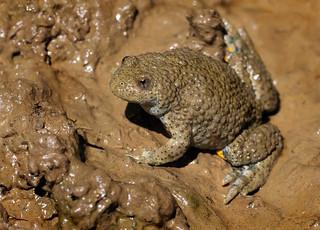 Yellow-bellied toad (Bombina variegata), SW Romania