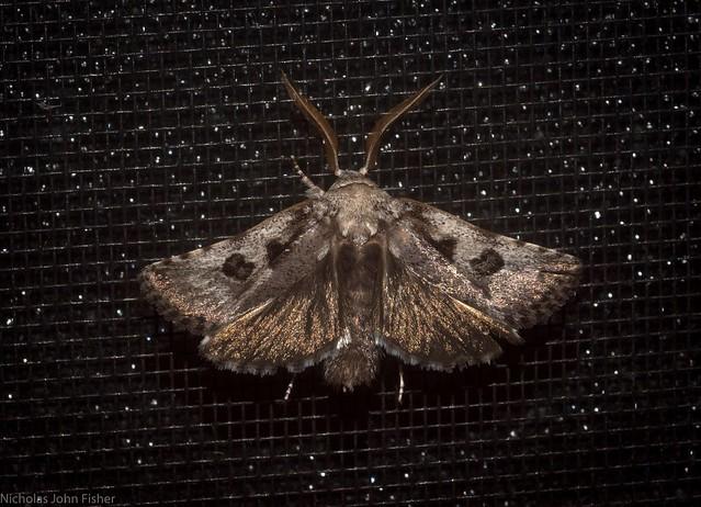 mystery moth