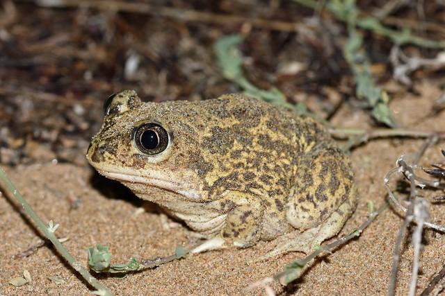 Western Spadefoot Toad (Pelobates cultripes)