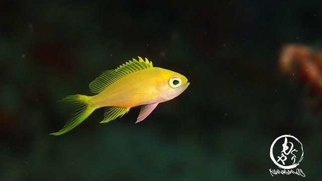 まだこんな小さい子いるんだなぁ。スミレナガハナダイ幼魚ちゃん♪