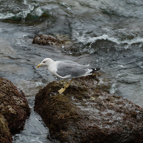 Yellow-legged gull on a rock