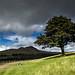 Dove Stone Oak Tree