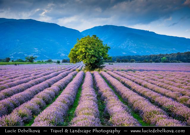 Bulgaria - Lonely tree in Lavender fields in full bloom