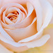 Rose Glow, 12.7.18