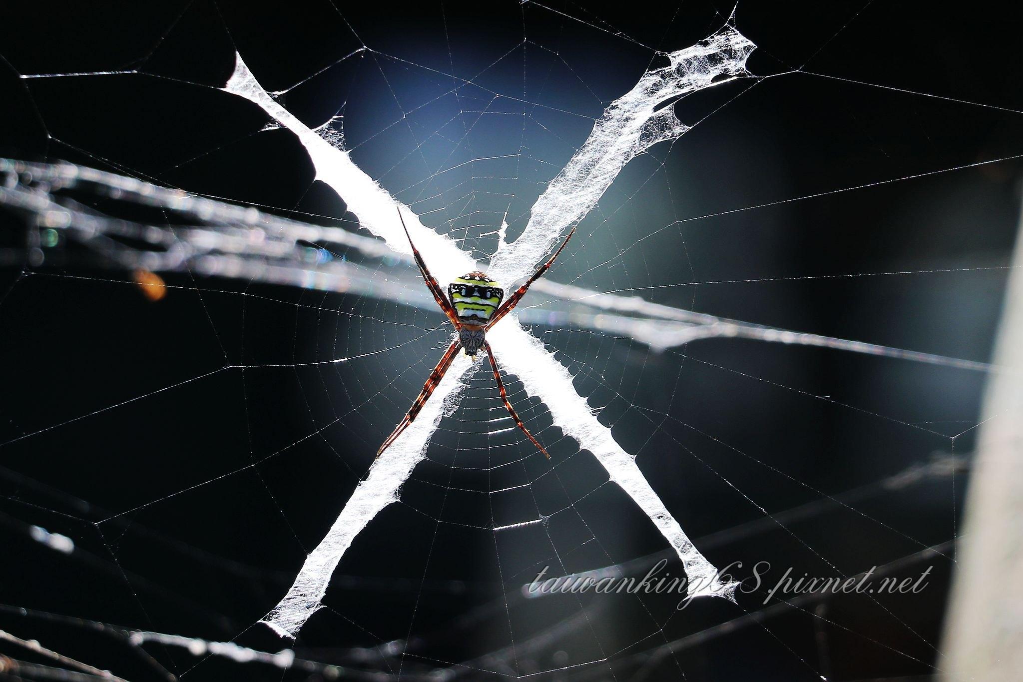 中形金蛛 (雌)