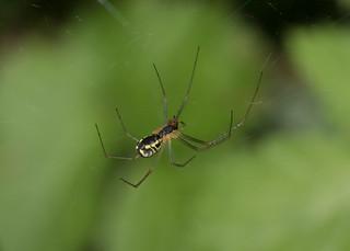 Arachtober 19 - Neriene radiata (Filmy Dome spider)