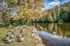 21 geese standing at attention