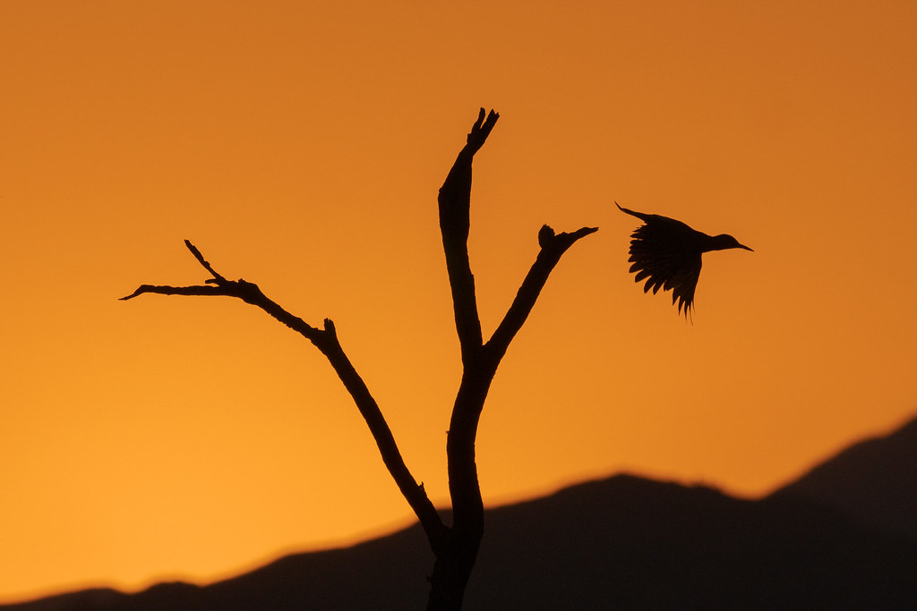 A gilded flicker is silhouetted against an orange sky as it flies from a dead tree at sunrise along the Bootlegger Trail in McDowell Sonoran Preserve