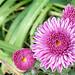 Chrysanthemum, newly opened by Martin LaBar