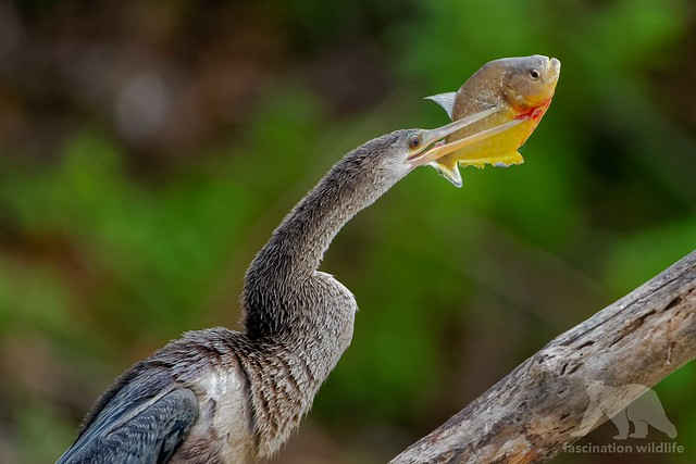 Anhinga with catch #Explored