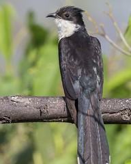 The Jacobin cuckoo, pied cuckoo, or pied crested cuckoo (Clamator jacobinus) is a member of the cuckoo order of birds that is found in Africa and Asia. It is partially migratory and in India, it has been considered a harbinger of the monsoon rains due to