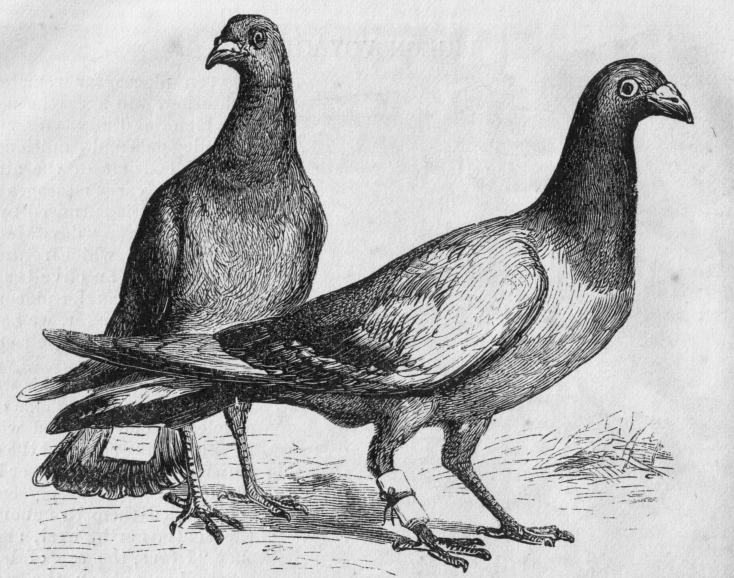 Engraving of homing pigeons, with messages attached. Published in Harper's New Monthly Magazine, No. 275, April, 1873.