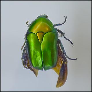 Protaetia cuprea in SMNH-Tel-Aviv-Nature-Museum--IZE-295